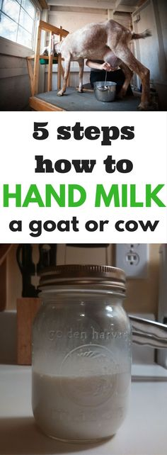 Hand milking a goat or cow can be super easy. Follow these 5 steps to become a hand milking super star.