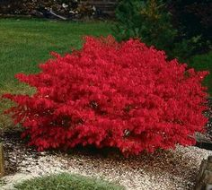 Fiery red burning bush Euonymus