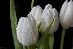 White Tip Tulips  by Tracy Hall, via 500px