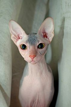 Sphynx Cat The Sphinx cat was born for the first time when a domestic black and white pet fur cat was born in Toronto, Canada. I Love Cats, Crazy Cats, Cute Cats, Cute Hairless Cat, Elf Cat, Baby Animals, Cute Animals, Sphinx Cat, Cat Behavior