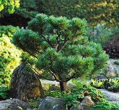 Pinus strobus 'Elf' maintained as miniature tree in the rock garden. Cadys Fall's nursery