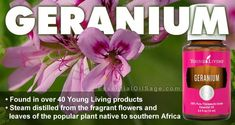 Found in over 40 Young Living products. Steam distilled from the fragrant flowers and leaves of the popular plant native to southern Africa. Buy Essential Oils, Geranium Essential Oil, Young Living Essential Oils, Young Living Geranium Oil, Geraniums, Sage, Essentials, Pure Products, Flowers