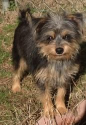 Roxy is an adoptable Yorkshire Terrier Yorkie Dog in Clarksville, AR. Roxy is a special needs dog that requires a special family due to her history prior to arriving at the shelter. Please contact Kat...