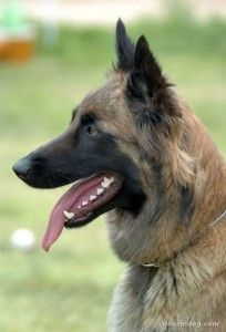 """Belgian Malinois ... Bear, the dog on """"Person of Interest"""" is a Belgian Malinois."""