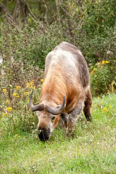 This is a Sichuan Takin photographed at the Wilds, near Zanesvill Ohio. A very endangered and interesting animal.