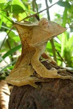 malaysian horned frog - Google Search