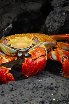 """Grapsus Grapsus, Red Rock Crab or """"Sally Lightfoots"""" by Lieutenant Elizabeth Crapo"""