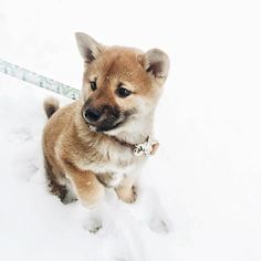 puppies in snow Puppies And Kitties, Cute Puppies, Cute Dogs, Kittens, Doggies, Shiba Inu, Shiba Puppy, Animals And Pets, Baby Animals
