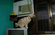 Katzen-Sprung-Fails: Katzen scheitern mit ihren Sprüngen - watson