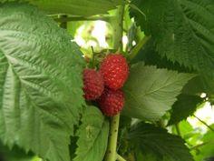 Growing Raspberries in Your Garden: The Delicious Jam Berry Jasmine Tea Benefits, White Tea Benefits, Almond Benefits, Apple Benefits, Comfrey Tea, Calendula Tea, Rosehip Tea, Ginseng Tea
