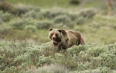 Grizzly bear, Yellowstone National Park, Wyoming (pinned by haw-creek.com)