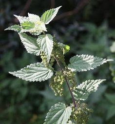 Healing Weeds: Stinging Nettle