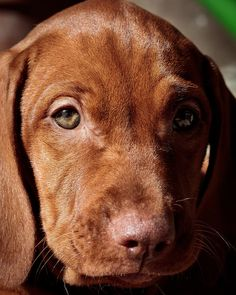 Is Your Vizsla Driving You Crazy? Make Massive Change To Your Vizsla`s Behaviour in Just 1 Day! Click the Link to get FREE Video Training NOW... - vizslas #dog #doglovers #dogtraining #dogs #dogsofinstagram