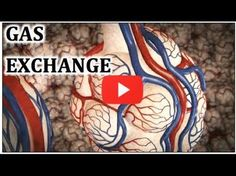 Great video explaining the anatomy of the respiratory system along with gas exchange between the capillaries and alveoli.