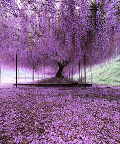 Nature Photography - Purple carpet of blooming Wisteria petals Hyogo, Japan. Photo by Wisteria Tree, Purple Wisteria, Purple Trees, Wisteria Japan, Wisteria Tunnel, Wisteria Garden, Purple Flowers, Beautiful World, Beautiful Places