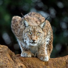 Eurasian Lynx ~Photo: Marina Cano......awesome photo must have taken months to get this shot