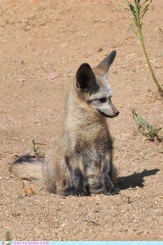 Bat-Eared Fox Cub - Photographer unknown