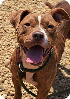 Philadelphia, PA - American Pit Bull Terrier Mix. Meet NIA aka BUTTERFINGER, a dog for adoption. http://www.adoptapet.com/pet/16524130-philadelphia-pennsylvania-american-pit-bull-terrier-mix