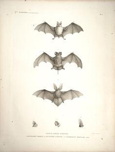 3 bats. Description de l'Égypte Histoire naturelle, Plates Paris,Imprimerie impériale,1809-28. Biodiversitylibrary. Biodivlibrary. BHL. Biodiversity Heritage Library
