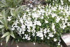 VIOLA cornuta 'Alba Minor' Alba, Planting, Cottage, House, Flowers, Plants, Home, Cottages, Cabin