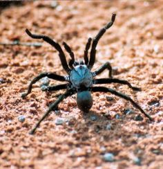 Mygalomorphae or primitive spiders, funnel-web, trapdoor and mouse spider ~ Spiders in Australia