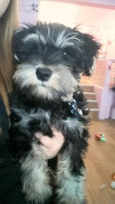 Love it when puppies come in for their  first big boy/girl grooms  this is Budd the minature schnauzer