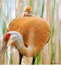 Takin' baby for a ride ~ sandhill cranes