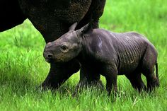 How to Save Black Rhinos From Poachers: Move Them   TakePart