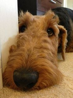 Oh, those Airedale noses!
