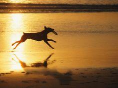 A Pet Dog Runs with a Frisbee on a Beach
