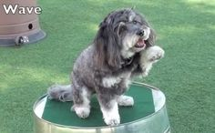 Smart Havanese loves performing 45 cute tricks (VIDEO) » DogHeirs | Where Dogs Are Family « Keywords: Havanese, tricks, Therapy Dog, positive reinforcement training