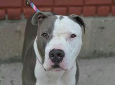 TO BE DESTROYED - 10/05/14 Brooklyn Center   My name is BULLY. My Animal ID # is A1014396. I am a neutered male gray and white pit bull mix. The shelter thinks I am about 5 YEARS old. **$150 DONATION to the NEW HOPE RESCUE that pulls!** https://m.facebook.com/photo.php?fbid=877754585570755&id=152876678058553&set=a.611290788883804.1073741851.152876678058553&source=43&ref=stream