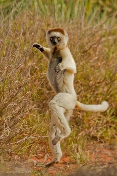 Kung Fu Lemur by Ashley Vincent on 500px. Perhaps the most characteristic behaviour of Verreauz's Sifaka – a species of Indriidea Lemur – is their hopping and sideways skipping when it comes to traversing an area of ground. As comical as this method of locomotion may appear, it is in fact an extremely effective way for this species of Sifaka to get themselves from one patch of trees to another where the separation between them is too far to jump.
