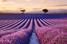 """travel-in-pictures: """"Valensole, Provence-Alpes-Côte d'Azur, France by Lensup from France Source Landscape Photos, Landscape Photography, Nature Photography, Travel Photography, Drought Resistant Plants, Hello France, Valensole, Lavender Fields, Cool Landscapes"""