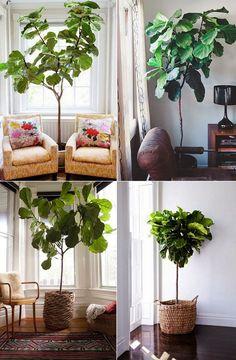 Summer home: Fiddle leaf fig tree