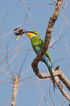 Swallow-tailed Bee-eater, Zwaluwstaart Bijeneter; Merops hirundineus   Flickr - Photo Sharing!
