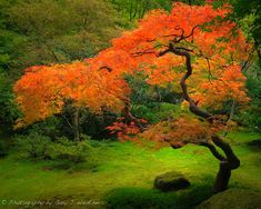 Japanese Maple II - - As I walked down the path I saw this bright red/orange tree surrounded by all this green and bathed in soft light from an opening in the trees above. most popular on 500 Pix. Garden Trees, Trees To Plant, Garden Plants, Beautiful Landscapes, Beautiful Gardens, Japanese Maple Bonsai, Japanese Garden Design, Small Japanese Garden, Japanese Nature
