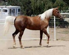 Chocolate Palomino. Dam is Arabian, sire is a Quaternary horse. Beautiful animal.