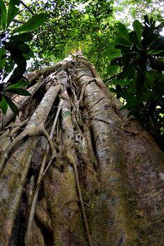 Large trees grow towards the sky reaching for sun light, Carara National Park, Costa Rica.  http://www.greennoise.cr/carara
