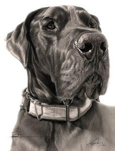 Commission - Great Dane 'Zeus' by Captured-In-Pencil.deviantart.com on @deviantART