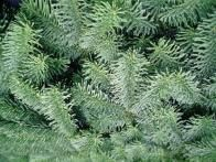 Noble fir , also called red fir, is a popular Christmas tree variety that grows natively in the mountains of the West Coast. The noble fir produces even layers of blue-green needles. The branches are strong and can handle lots of heavy ornaments.