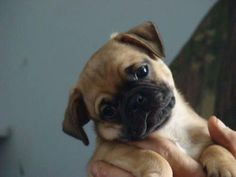 8 week old Chug (Chiuaua/Pug mix). I have one named EARL and he has become the sweetest boy ever! Chug Puppies, Chug Dog, Teacup Puppies, Pug Cross, Pug Mix, Baby Pugs, Cute Dog Photos, Cutest Dog Ever, Cute Chihuahua
