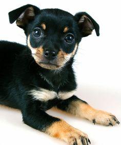 miniature pinscher puppies | miniature pinscher puppies pictures photos of miniature pinscher ...