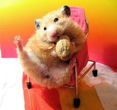 Risultati immagini per hamster dressed Baby Hamster, Hamster Care, Cute Baby Animals, Funny Animals, Funny Hamsters, Dwarf Hamsters, Animal Pictures, Cute Pictures, Syrian Hamster
