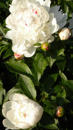 Peony, perennial flower / bush, usually pink, red, or white, likes sun to partial shade, great cut flower, good for a base for wedding bouquets, very hardy.