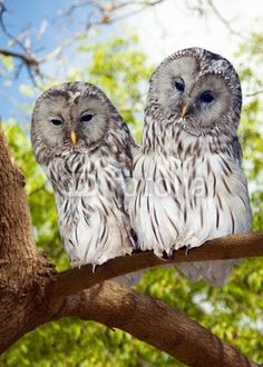 Grey Owls couple on tree