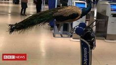 'Emotional support peacock' barred from United Airlines plane