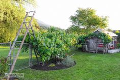 Make an old ladder garden arbour in minutes! With rustic shed, on FunkyJunkInteriors.net