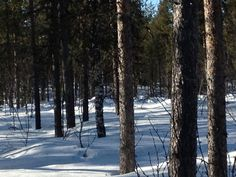 The moose is in the middle of the photo but a long way back in the trees.
