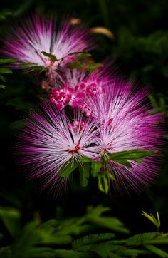 ✯ Mimosa Tree Flower - I have several of these trees. Unique pink flowers in the summer with a gorgeous scent. Unusual Flowers, Amazing Flowers, My Flower, Pretty Flowers, Pink Flowers, Beautiful Flowers Photos, Beautiful Gorgeous, Albizia Julibrissin, Flowering Trees